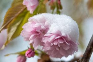 Snowy pink flowers of sakura tree